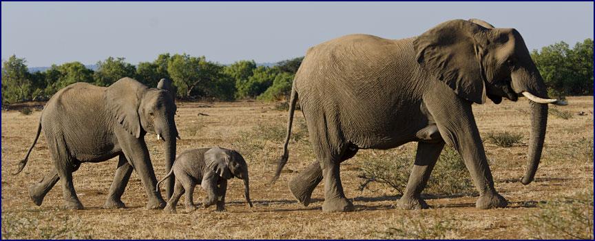 Baby elephant tail